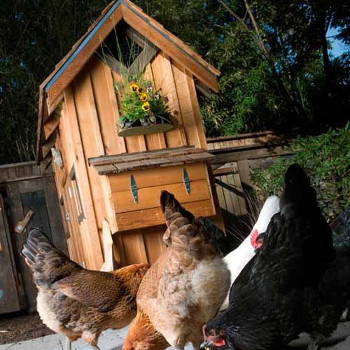 Answer CHICKEN COOP