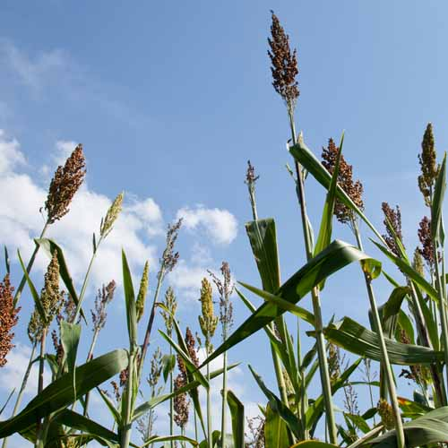 Answer SORGHUM