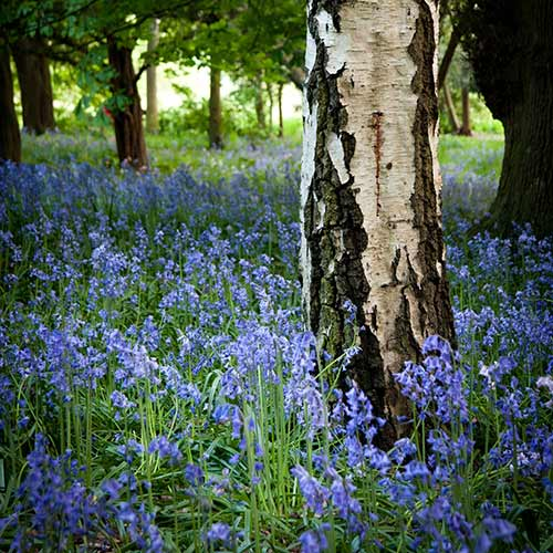Answer BLUEBELLS