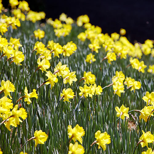 Answer DAFFODILS