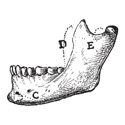 Answer MANDIBLE