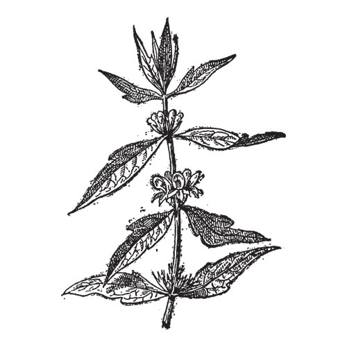 Answer MOTHERWORT