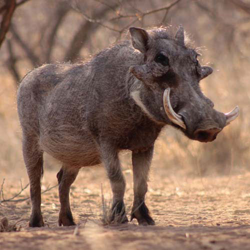 Answer WARTHOG