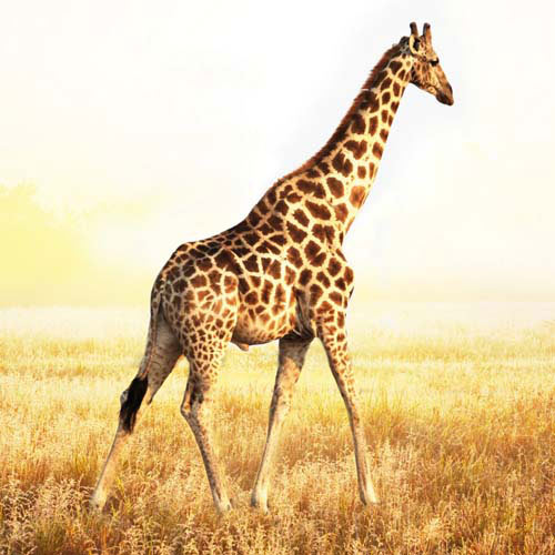 Answer GIRAFFE