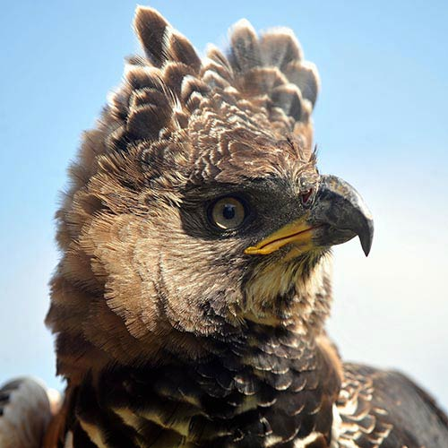 Answer CROWNED EAGLE