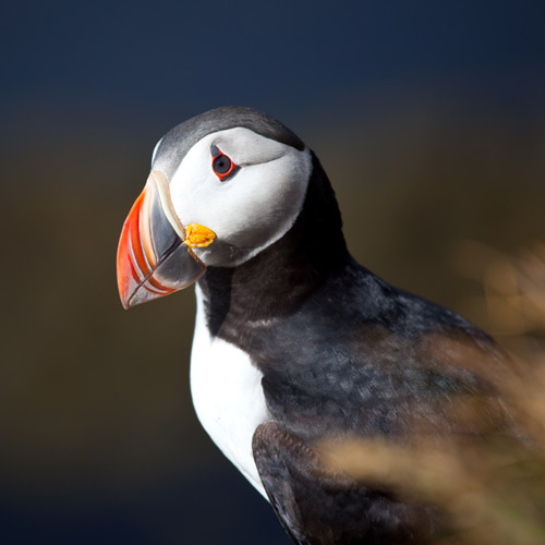 Answer PUFFIN