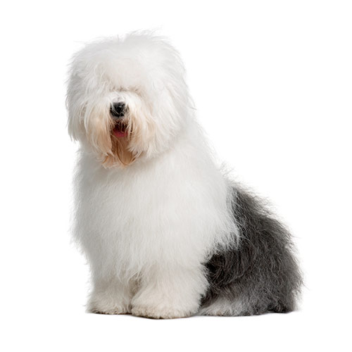 100 Pics Dog Breeds Answers   8 Letters