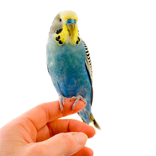 Answer BUDGIE