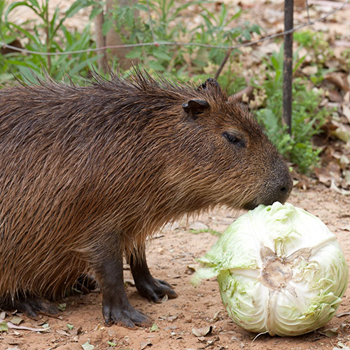 Answer CAPYBARA