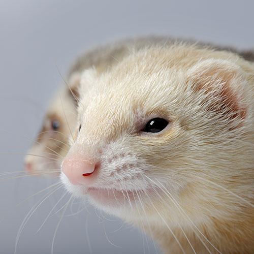Answer FERRET