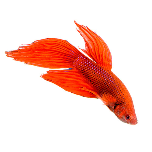 Answer FIGHTING FISH
