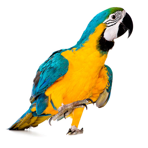 Answer MACAW