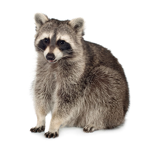 Answer RACCOON