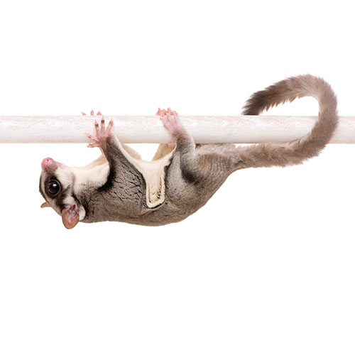 Answer SUGAR GLIDER