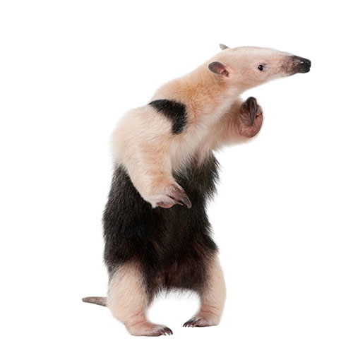 Answer TAMANDUA