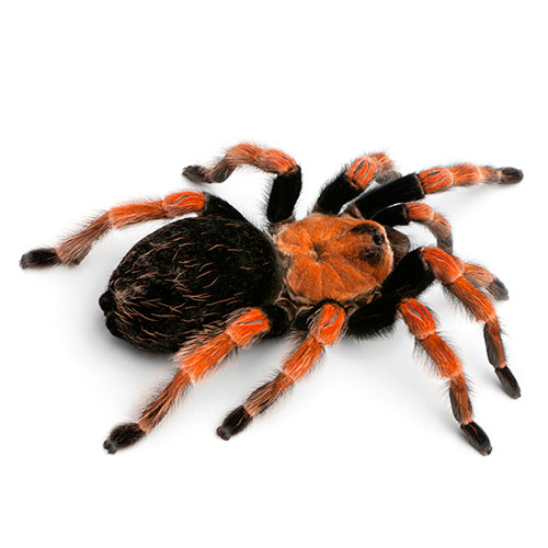 Answer TARANTULA