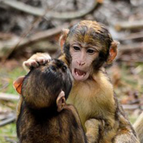Answer MACAQUES