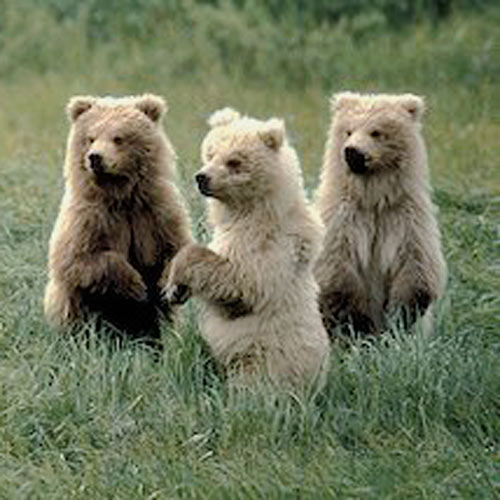 Answer GRIZZLY BEARS