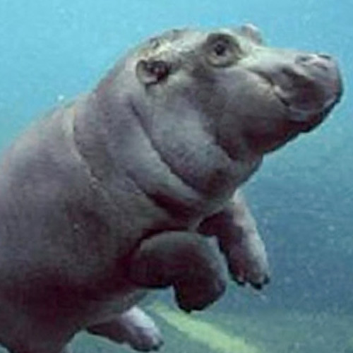 Answer HIPPO