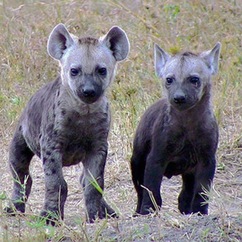 Answer HYENAS
