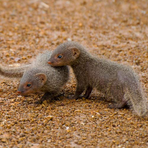 Answer MONGOOSES