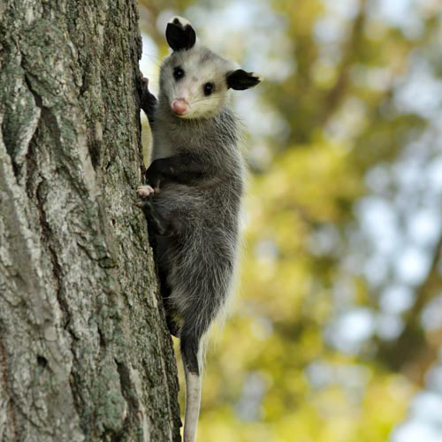 Answer POSSUM