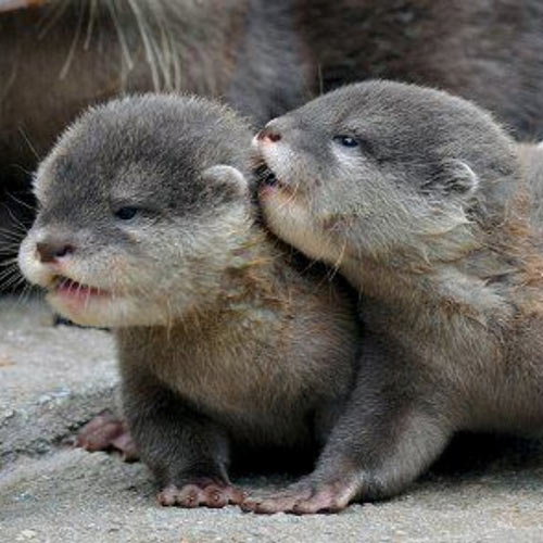 Answer OTTERS