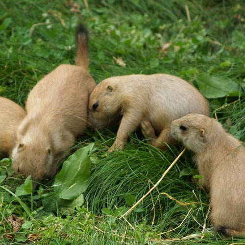 Answer PRAIRIE DOGS
