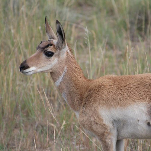 Answer PRONGHORN