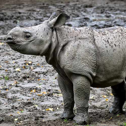 Answer RHINO