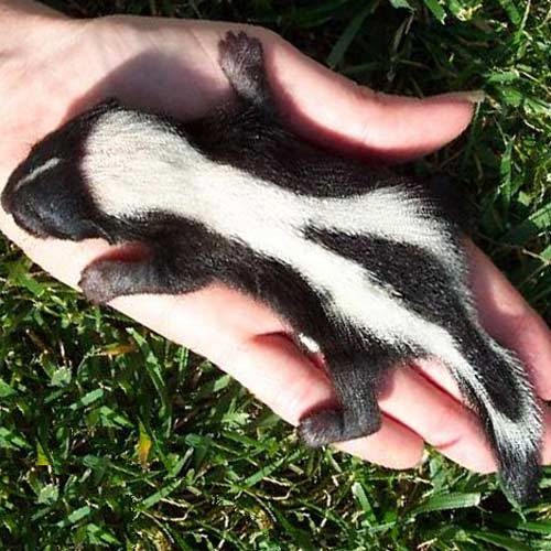 Answer SKUNK