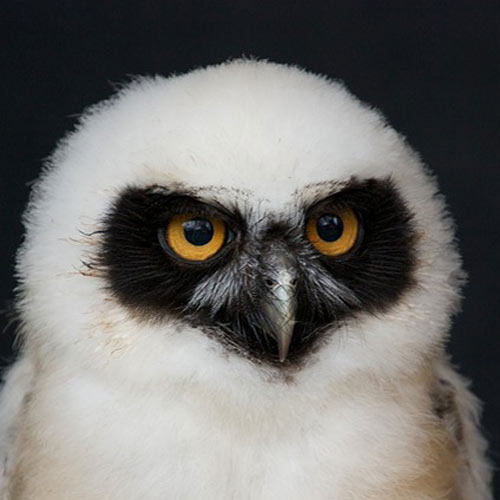Answer SPECTACLED OWL