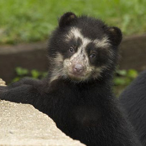 Answer SPECTACLED BEAR