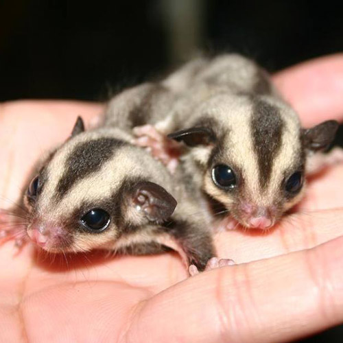 Answer SUGAR GLIDERS
