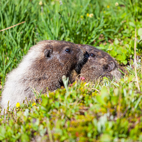 Answer MARMOTS