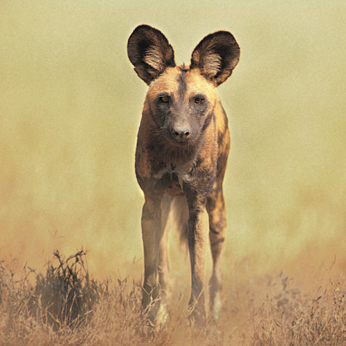 Answer AFRICAN WILD DOG