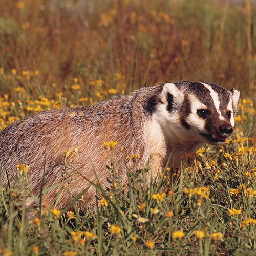 Answer AMERICAN BADGER