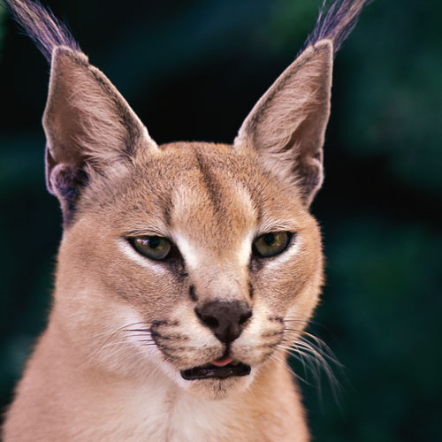 Answer CARACAL