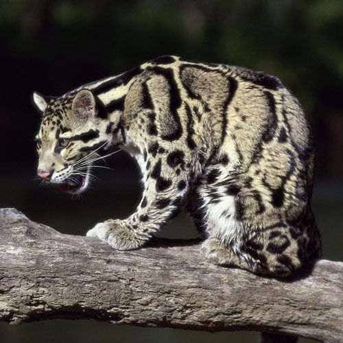 Answer CLOUDED LEOPARD