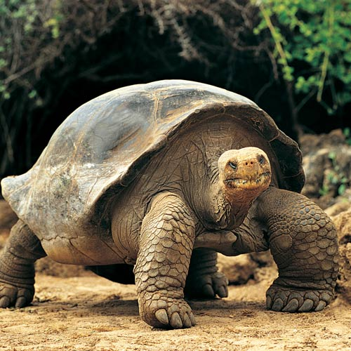 Answer GIANT TORTOISE