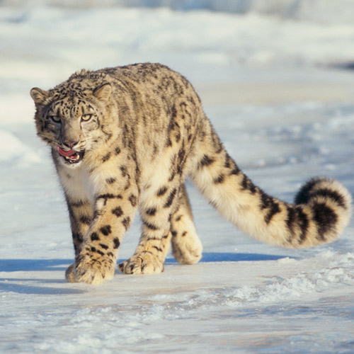 Answer SNOW LEOPARD