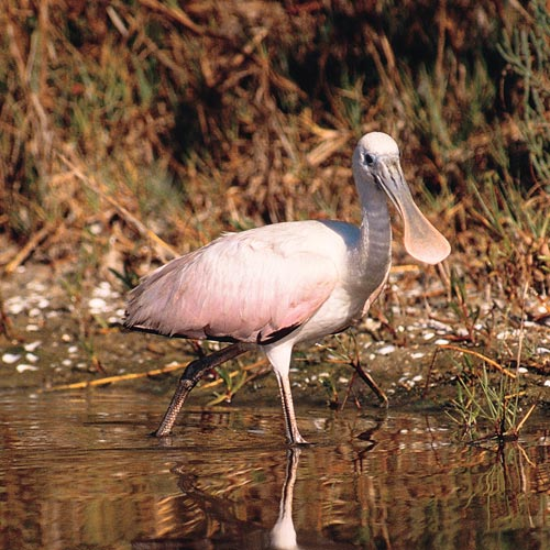 Answer SPOONBILL