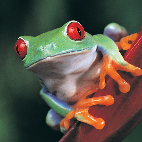 Answer TREE FROG